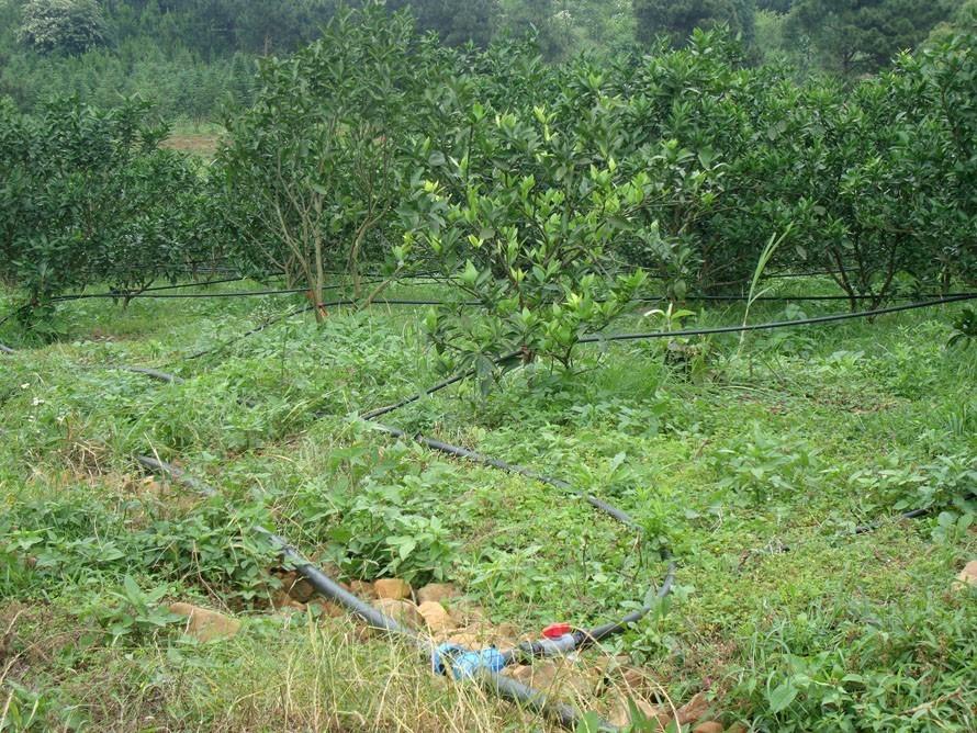 柑果的种植技巧