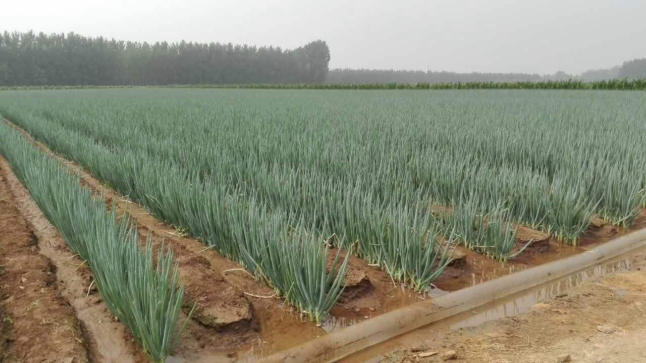 大葱的种植技巧